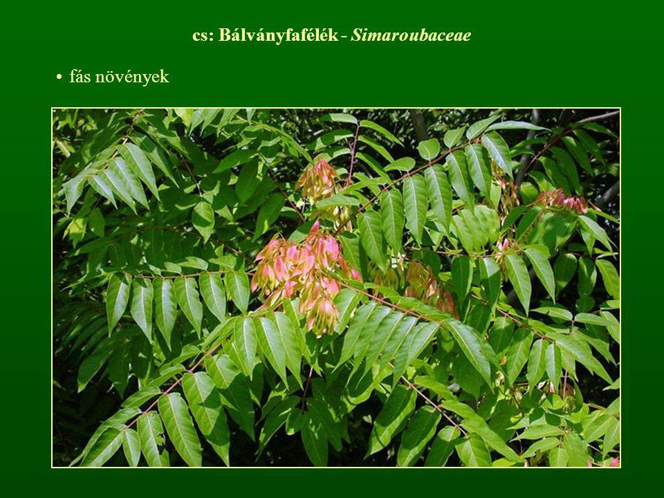 cs: Bálványfafélék - Simaroubaceae