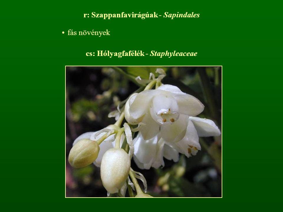 cs: Hólyagfafélék - Staphyleaceae