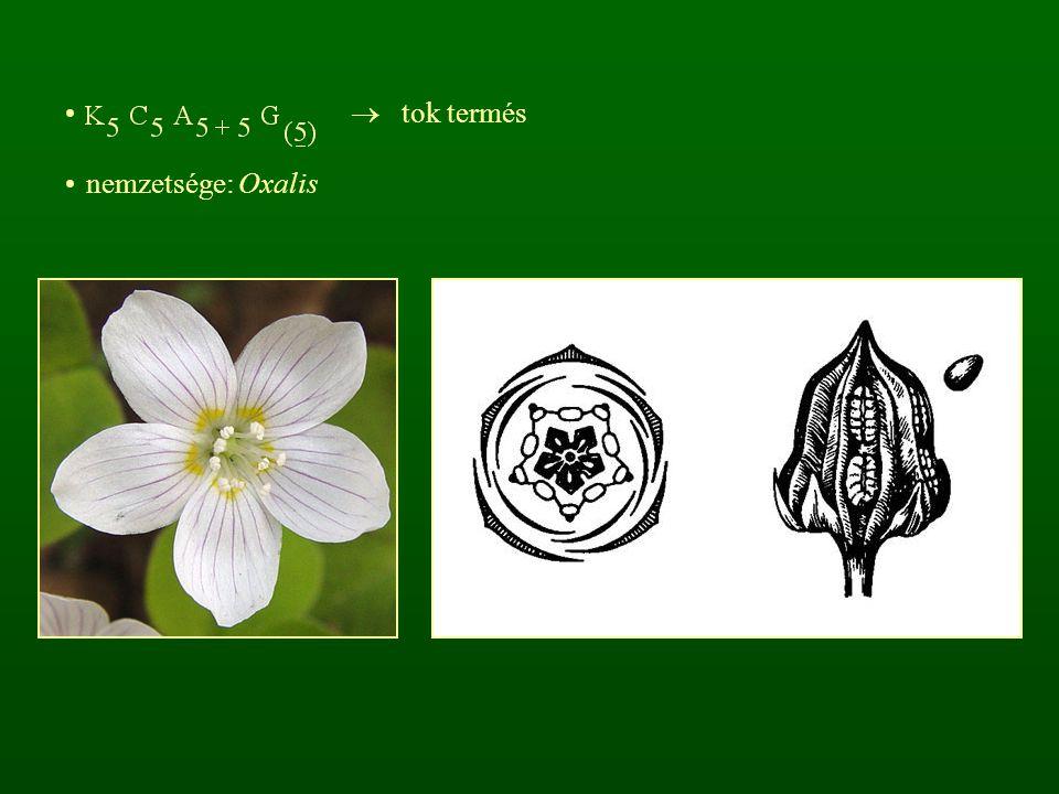  tok termés nemzetsége: Oxalis