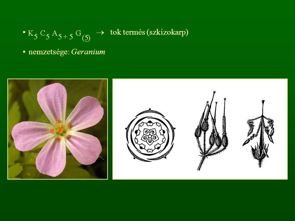  tok termés (szkizokarp)