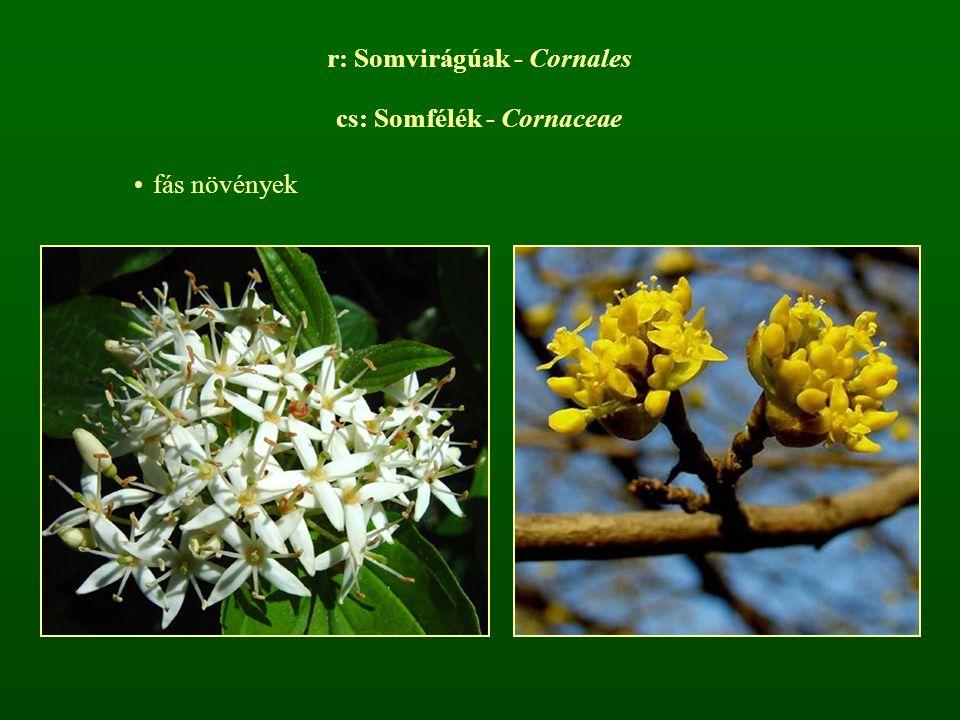 r: Somvirágúak - Cornales cs: Somfélék - Cornaceae fás növények