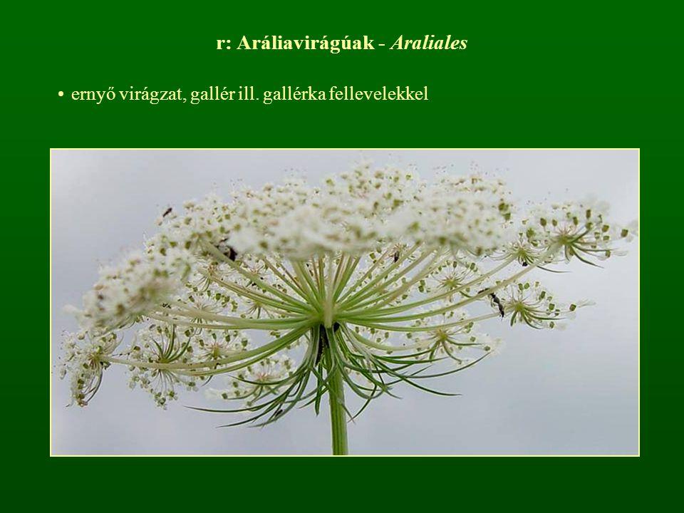 r: Aráliavirágúak - Araliales