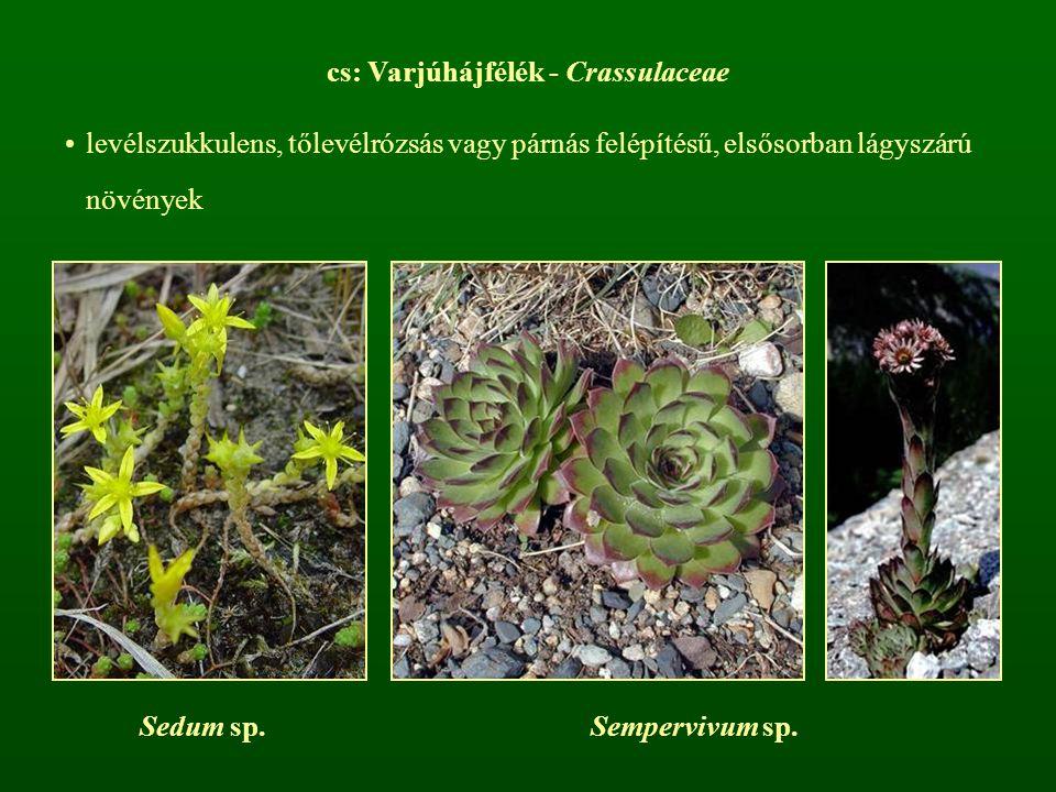 cs: Varjúhájfélék - Crassulaceae