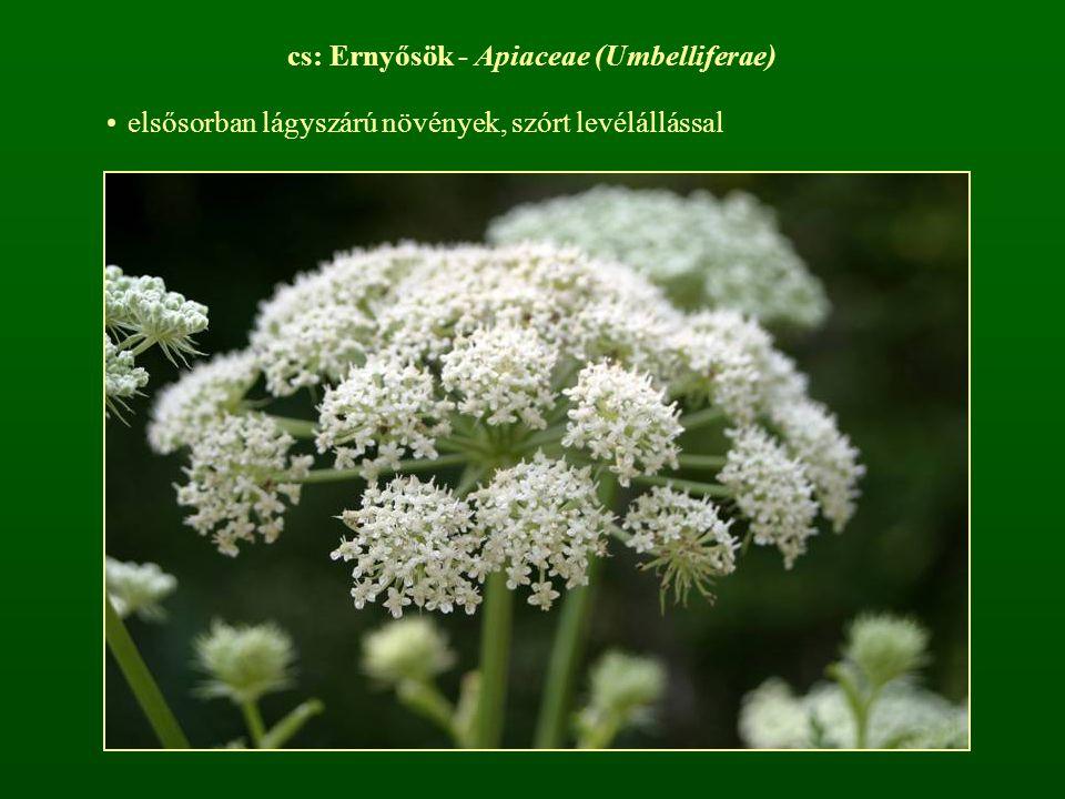 cs: Ernyősök - Apiaceae (Umbelliferae)