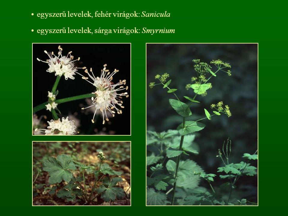 egyszerű levelek, fehér virágok: Sanicula