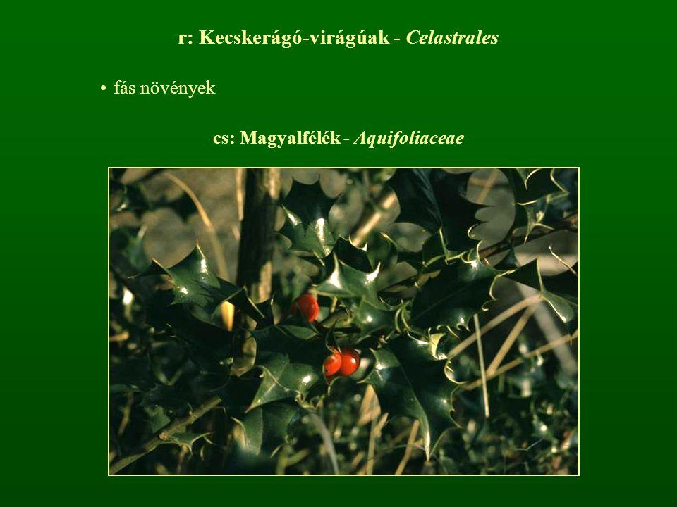 cs: Magyalfélék - Aquifoliaceae