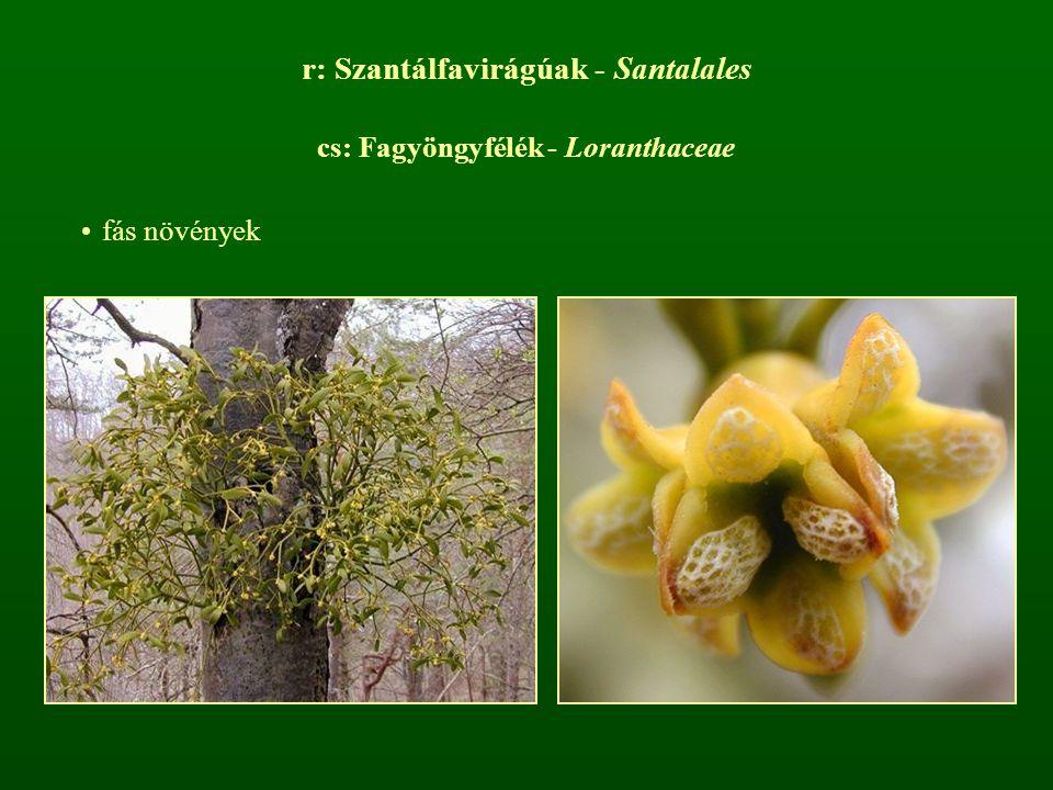 r: Szantálfavirágúak - Santalales