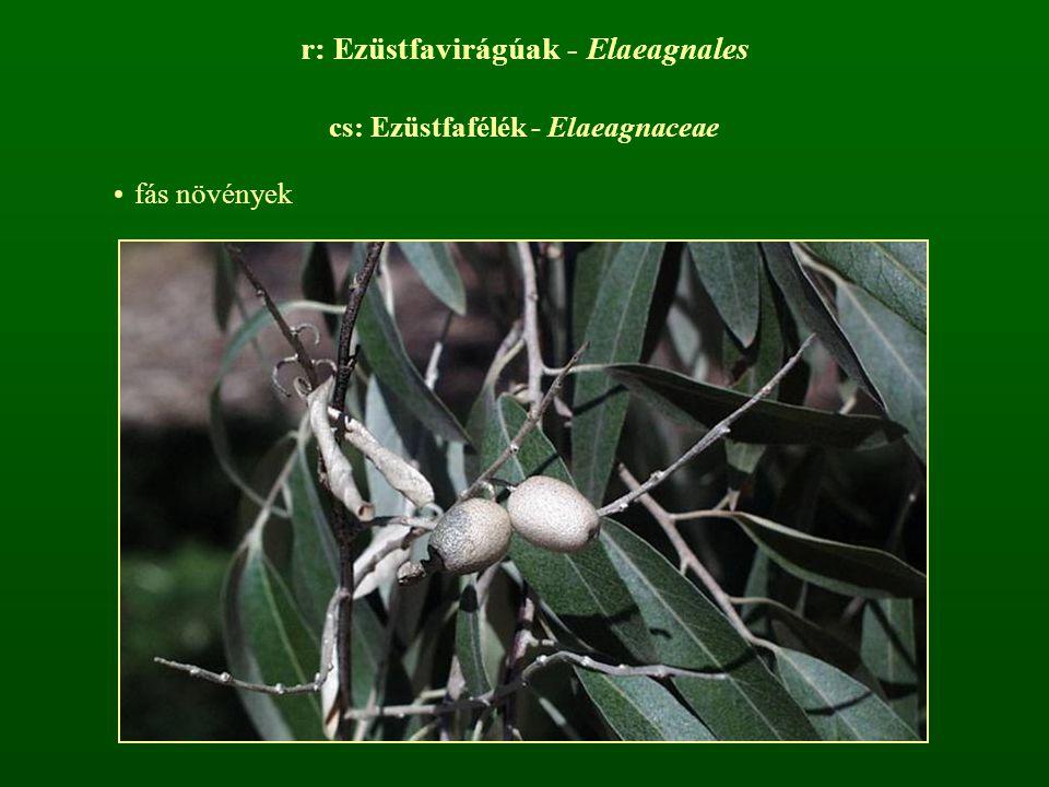 r: Ezüstfavirágúak - Elaeagnales