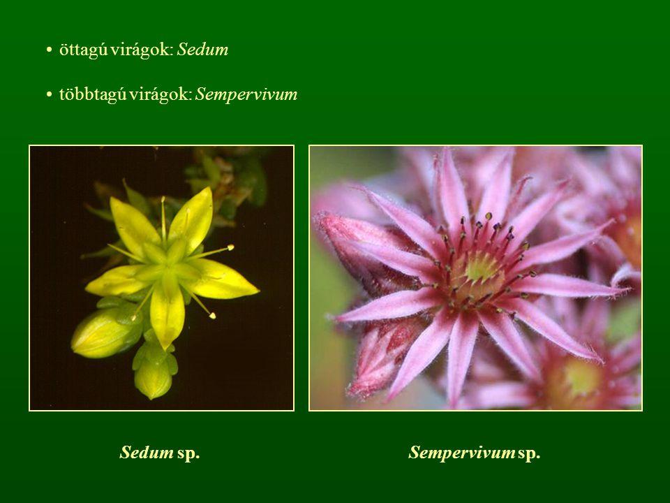 öttagú virágok: Sedum többtagú virágok: Sempervivum Sedum sp. Sempervivum sp.