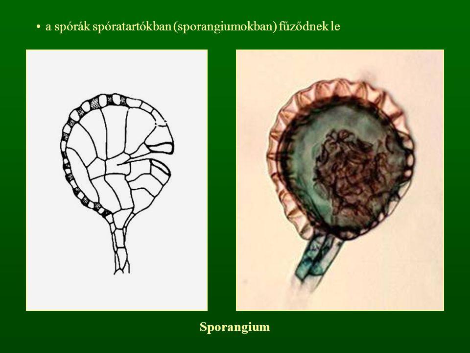 a spórák spóratartókban (sporangiumokban) fűződnek le