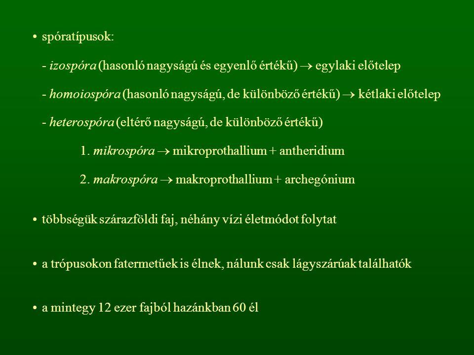 spóratípusok: - izospóra (hasonló nagyságú és egyenlő értékű)  egylaki előtelep.