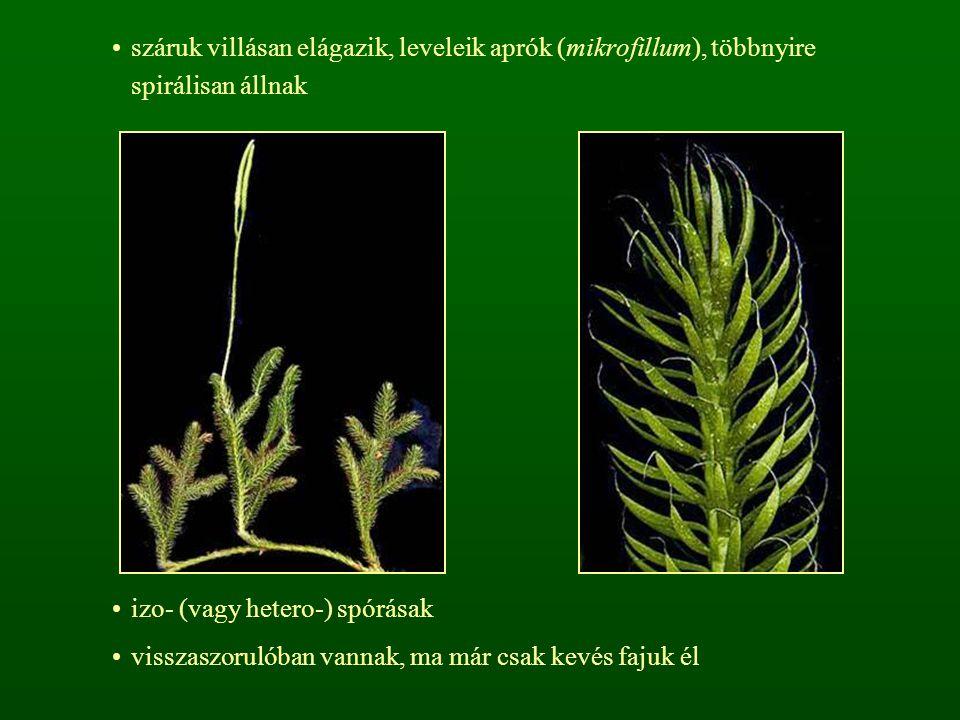 száruk villásan elágazik, leveleik aprók (mikrofillum), többnyire spirálisan állnak