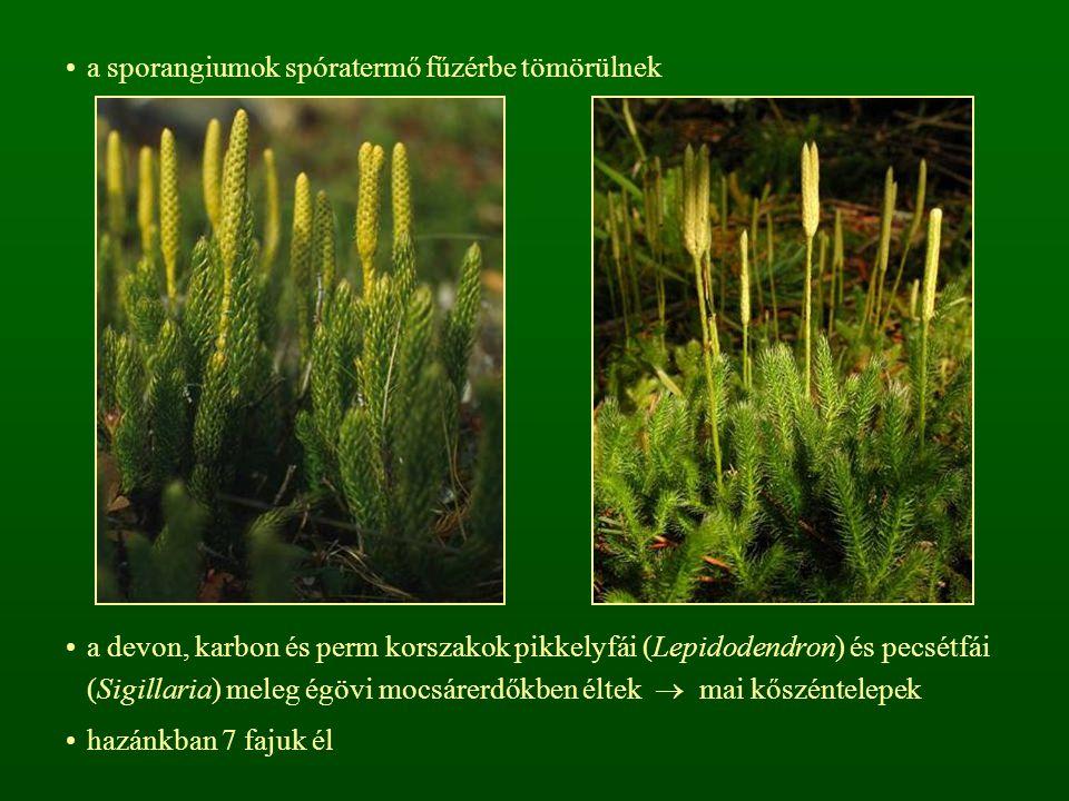 a sporangiumok spóratermő fűzérbe tömörülnek