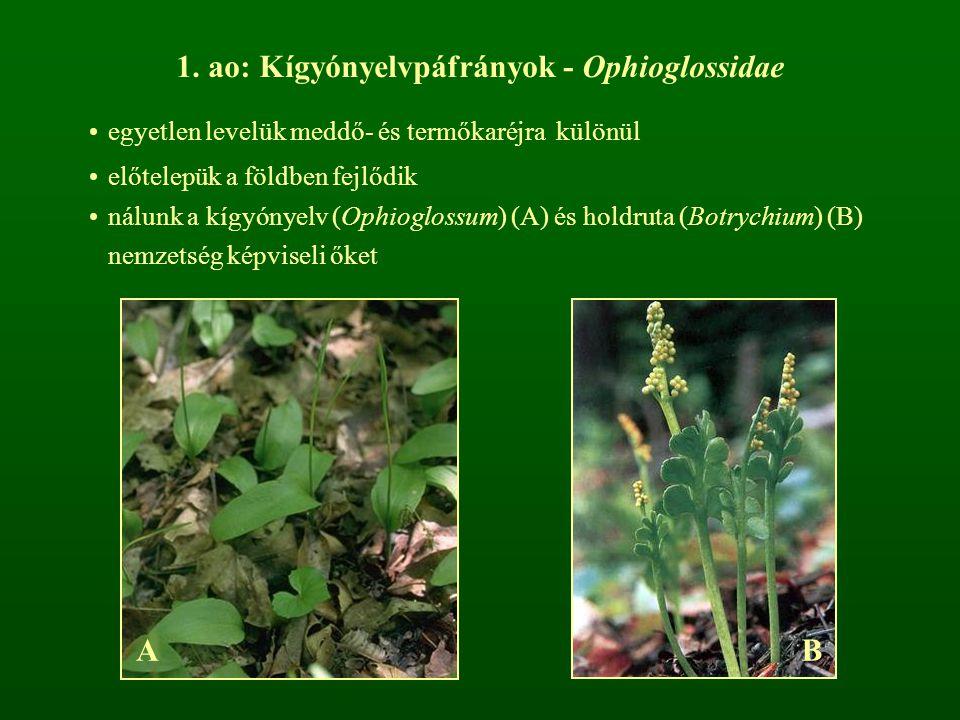 ao: Kígyónyelvpáfrányok - Ophioglossidae