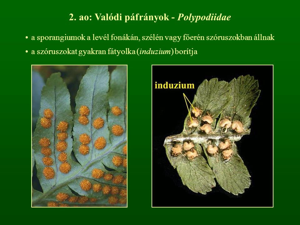 2. ao: Valódi páfrányok - Polypodiidae