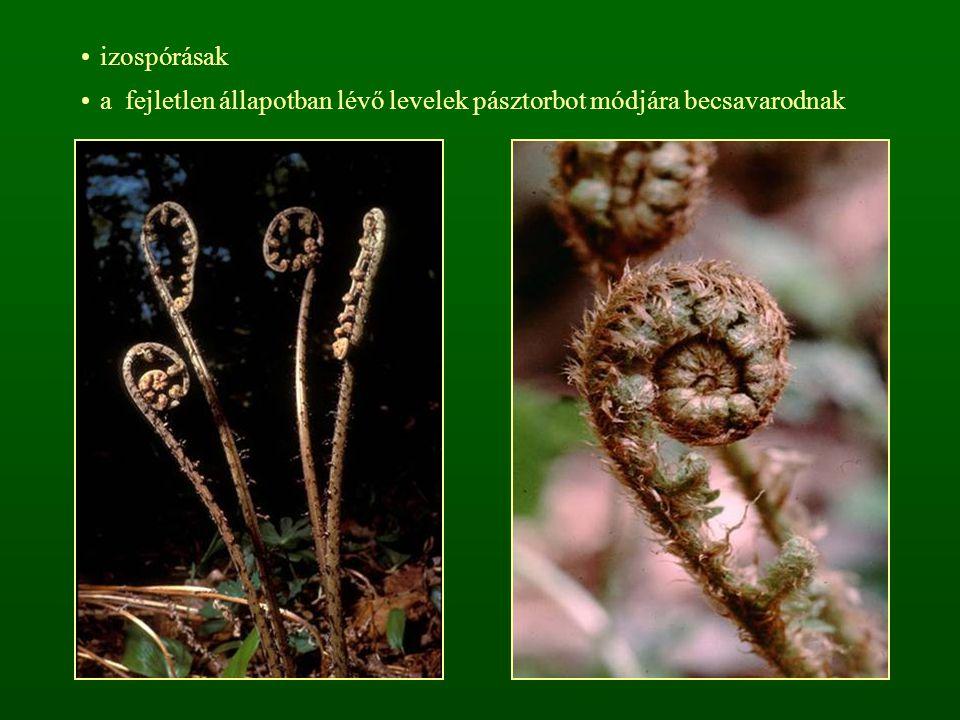izospórásak a fejletlen állapotban lévő levelek pásztorbot módjára becsavarodnak
