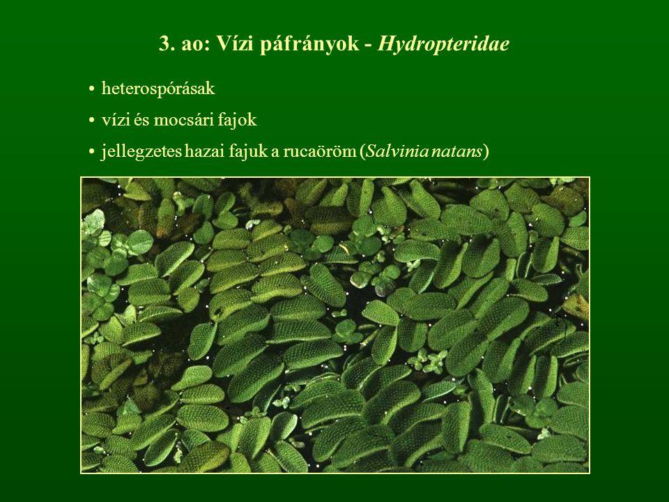 3. ao: Vízi páfrányok - Hydropteridae