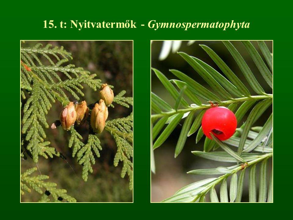 15. t: Nyitvatermők - Gymnospermatophyta