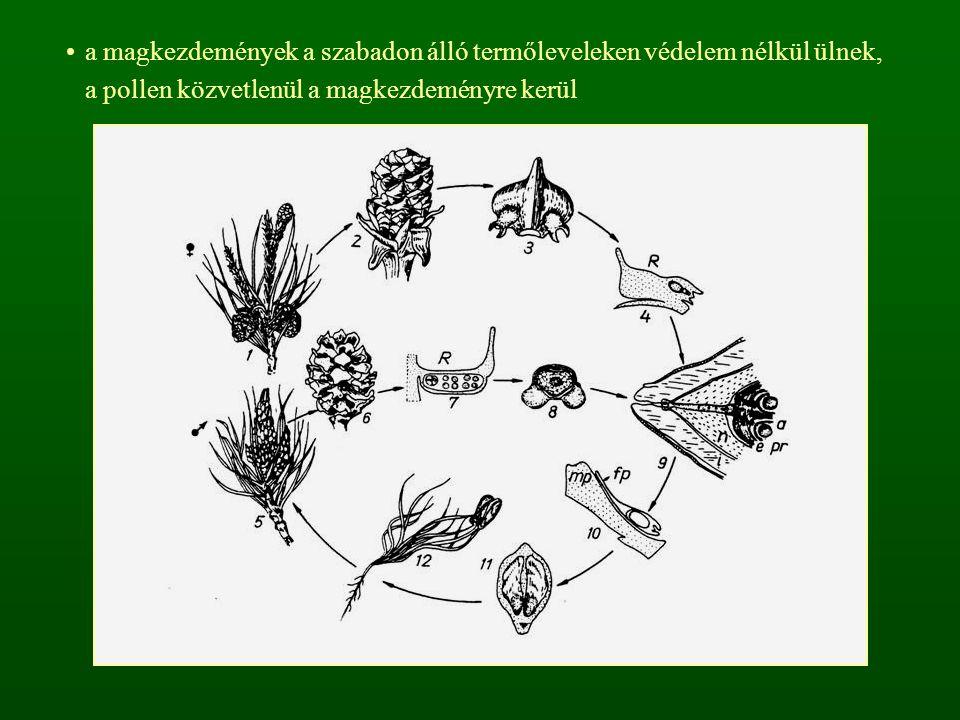 a magkezdemények a szabadon álló termőleveleken védelem nélkül ülnek, a pollen közvetlenül a magkezdeményre kerül