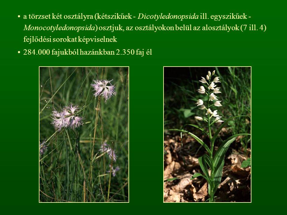 a törzset két osztályra (kétszikűek - Dicotyledonopsida ill
