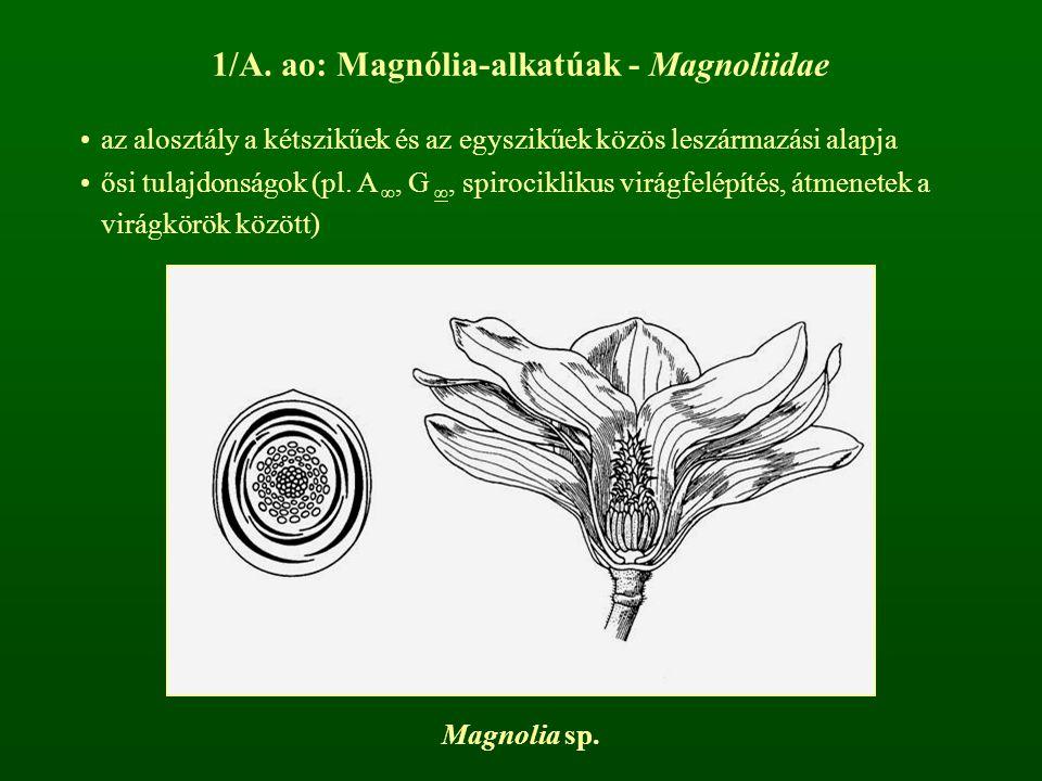 1/A. ao: Magnólia-alkatúak - Magnoliidae
