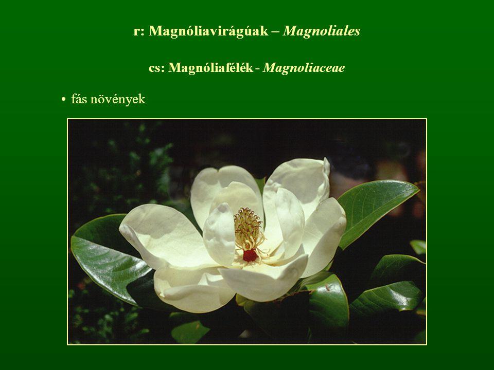 r: Magnóliavirágúak – Magnoliales