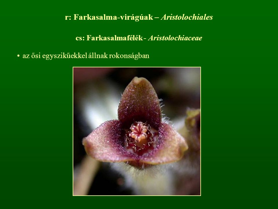 r: Farkasalma-virágúak – Aristolochiales