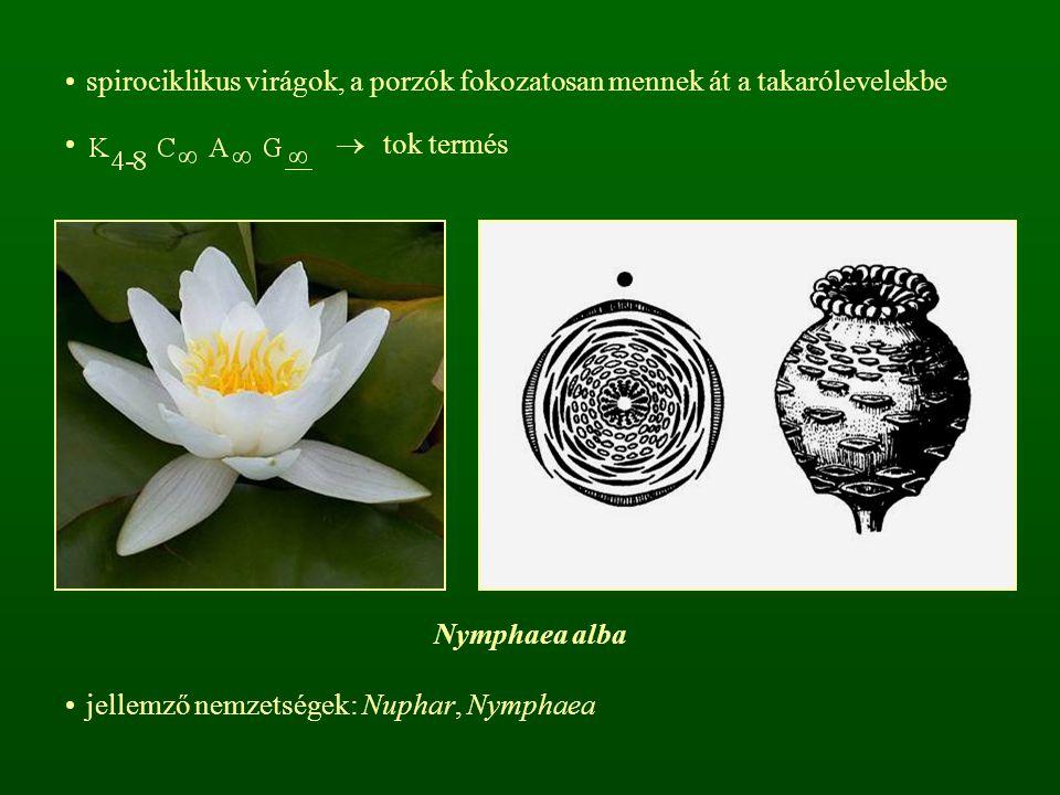 spirociklikus virágok, a porzók fokozatosan mennek át a takarólevelekbe
