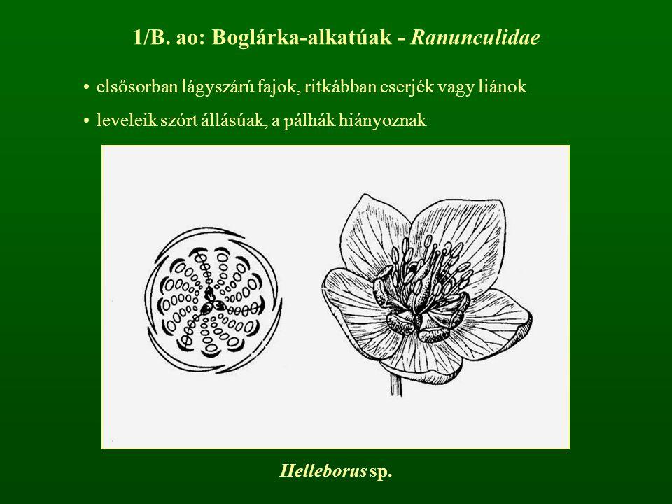 1/B. ao: Boglárka-alkatúak - Ranunculidae