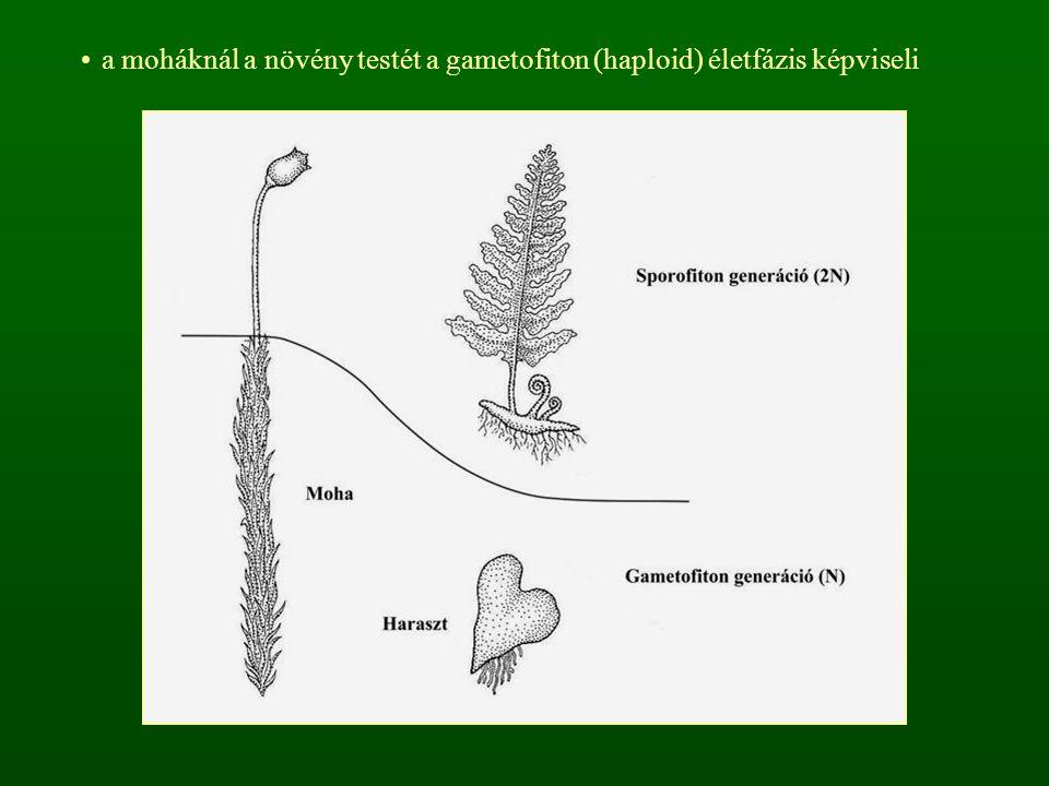 a moháknál a növény testét a gametofiton (haploid) életfázis képviseli