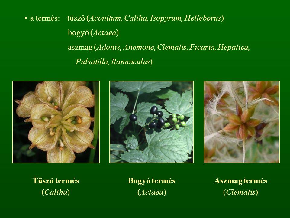a termés: tüsző (Aconitum, Caltha, Isopyrum, Helleborus)