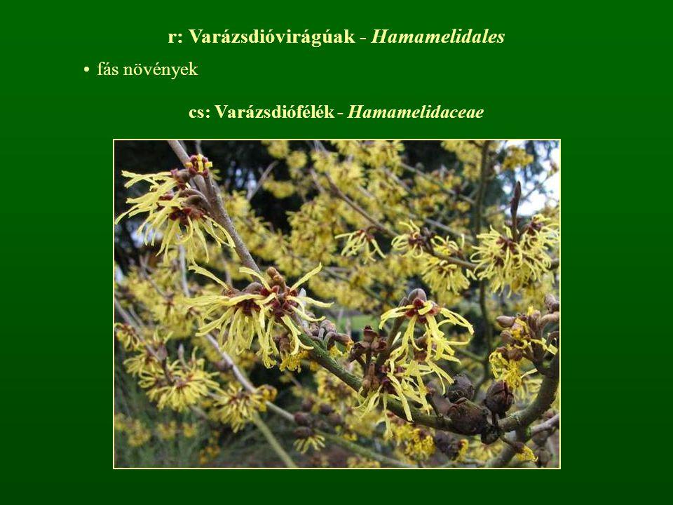 cs: Varázsdiófélék - Hamamelidaceae