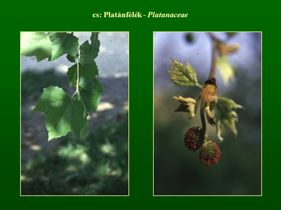 cs: Platánfélék - Platanaceae