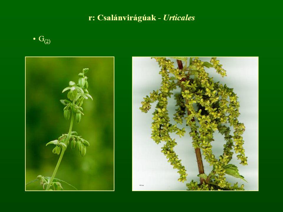 r: Csalánvirágúak - Urticales