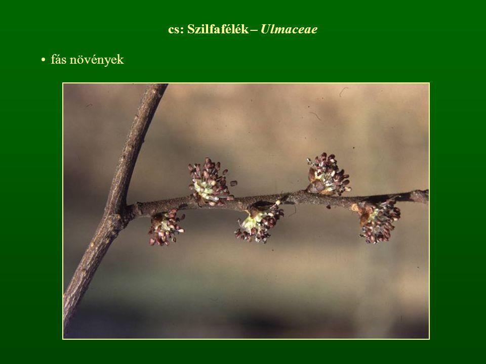 cs: Szilfafélék – Ulmaceae