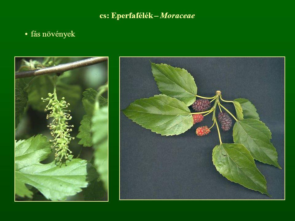 cs: Eperfafélék – Moraceae