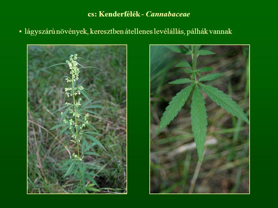 cs: Kenderfélék - Cannabaceae