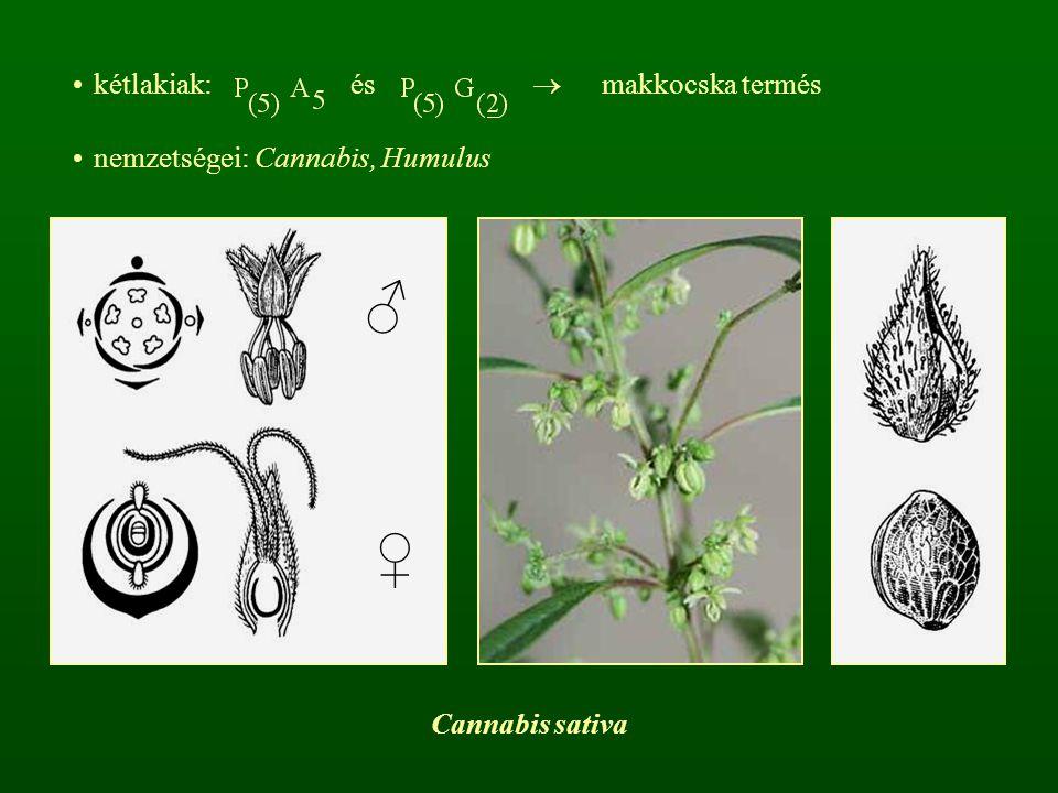 ♂ ♀ kétlakiak: és  makkocska termés nemzetségei: Cannabis, Humulus