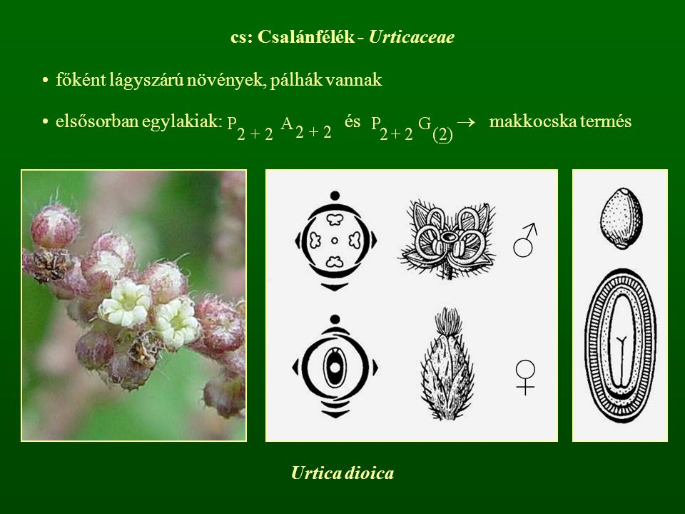 cs: Csalánfélék - Urticaceae
