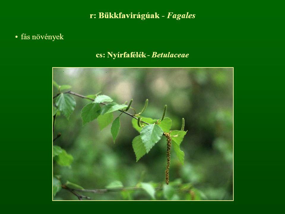 cs: Nyírfafélék - Betulaceae