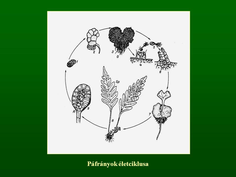 Páfrányok életciklusa