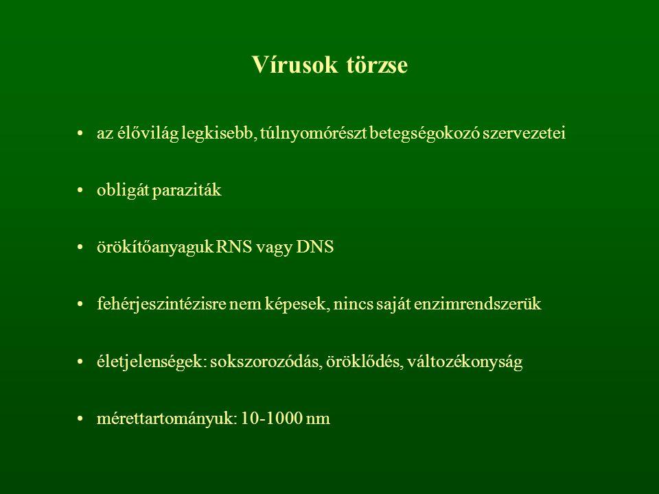 Vírusok törzse az élővilág legkisebb, túlnyomórészt betegségokozó szervezetei. obligát paraziták. örökítőanyaguk RNS vagy DNS.