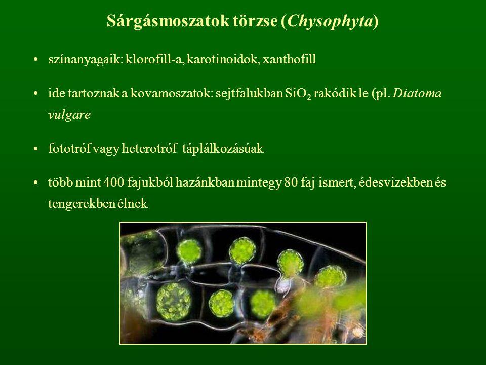 Sárgásmoszatok törzse (Chysophyta)