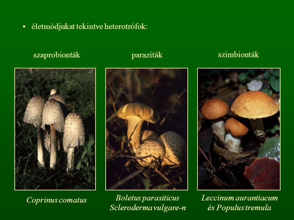 Scleroderma vulgare-n