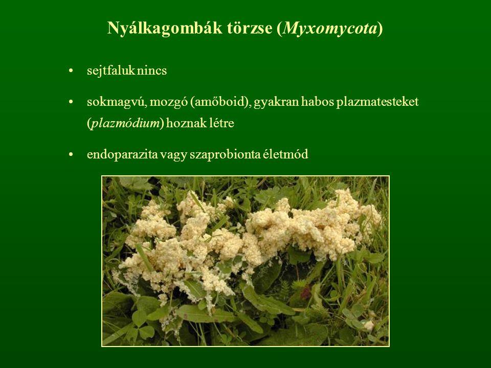 Nyálkagombák törzse (Myxomycota)