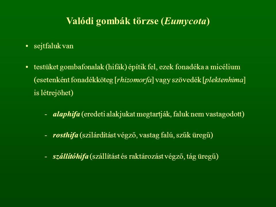 Valódi gombák törzse (Eumycota)
