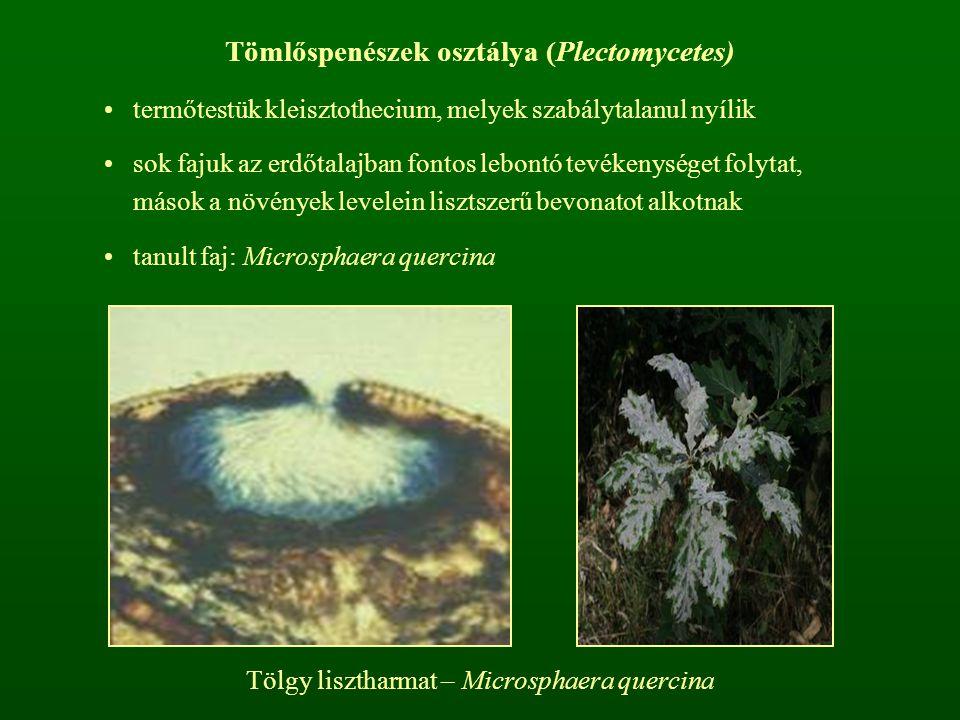 Tömlőspenészek osztálya (Plectomycetes)