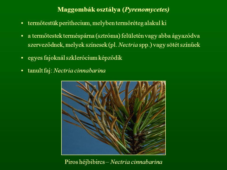 Maggombák osztálya (Pyrenomycetes)