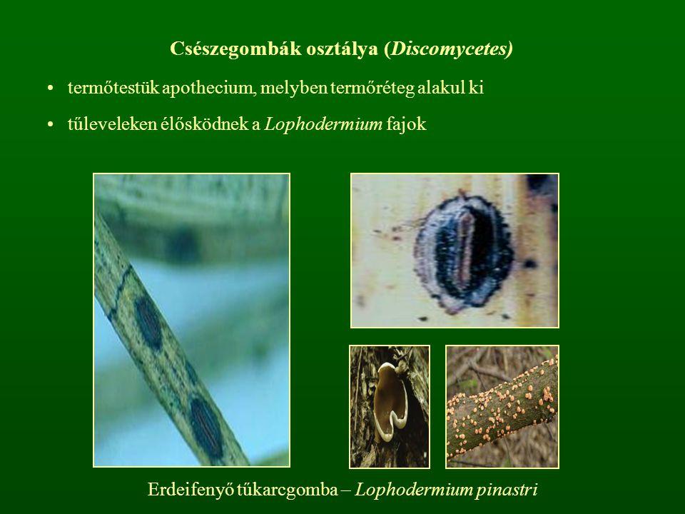 Csészegombák osztálya (Discomycetes)