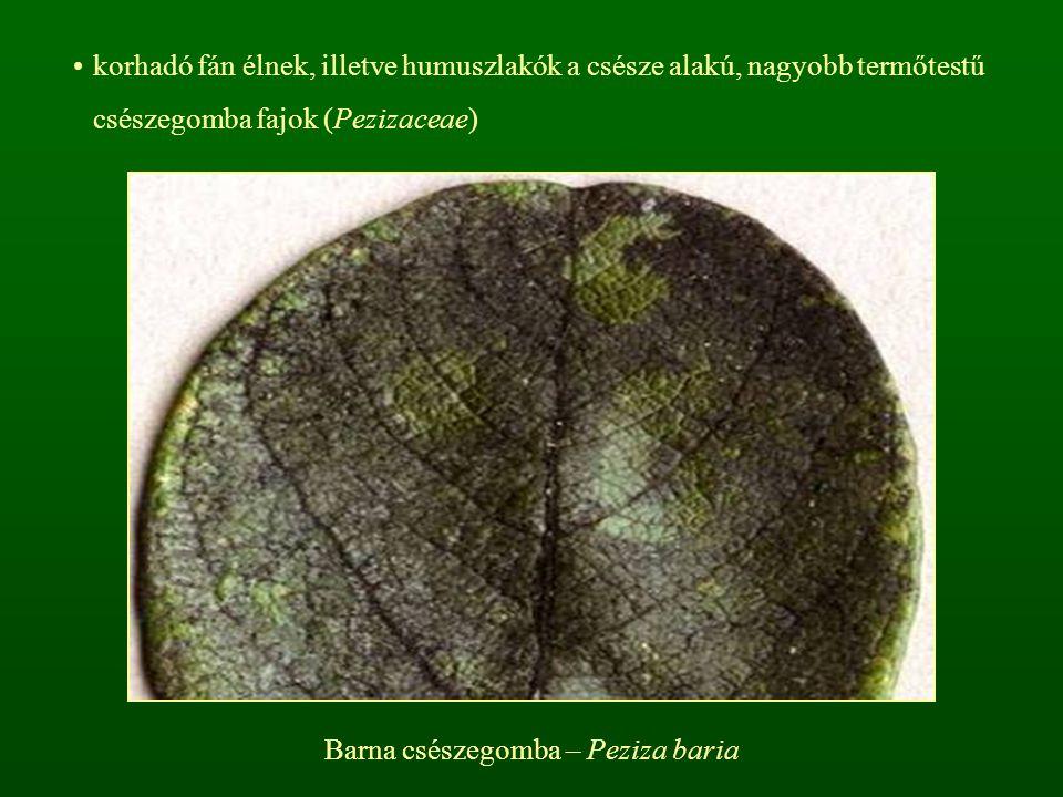 Barna csészegomba – Peziza baria